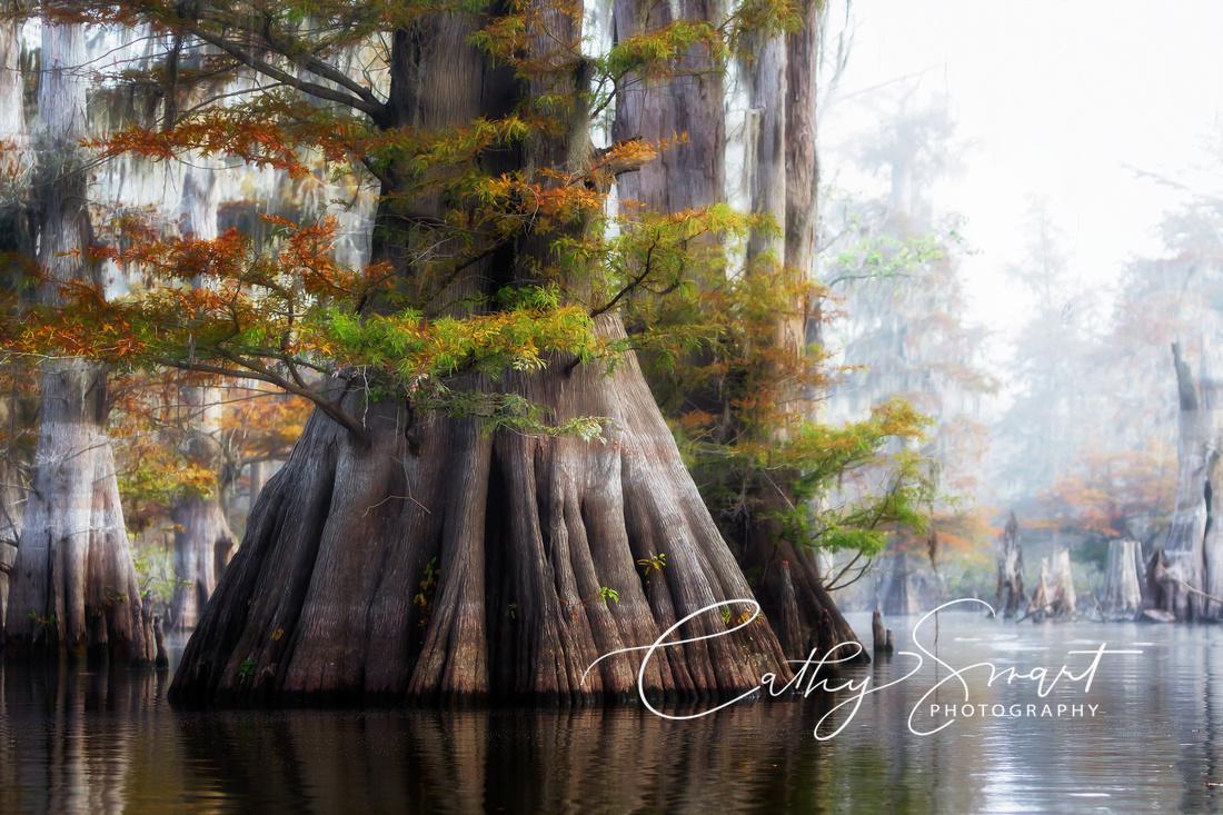 Aged Cypress, St Catherine Creek National Wildlife Refuge, Louisiana