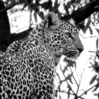Portrait of a Leopard in Black and White