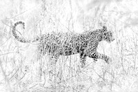 Leopard in Black and White, Chobe National Park, Botswana