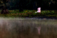 August - Roseatte Spoonbill in Lake Fausse, Louisiana