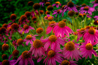 Cone Flowers #2