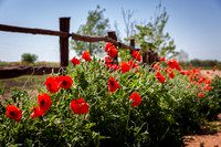 poppies - Fredericksburg, Texas