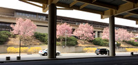 View of Cherry Blossoms from airport