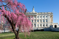 Weeping Cherry Blossom and Capitol