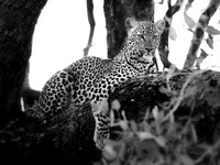 Leopard in Tree - Zambia