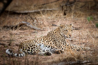 Leopard - Chobe National Park